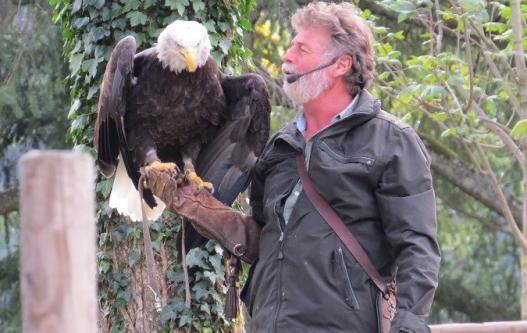 Ein Falkner hat einen Weißkopfseeadler auf der Hand